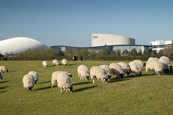 Sheep near Campbell Park Milton Keynes