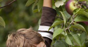 Boy picking apples at Green Dragon Eco Farm