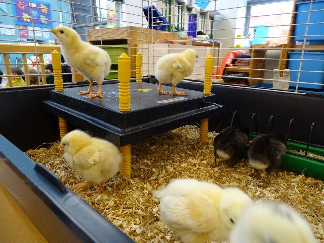 chicks hatch at Middleton School