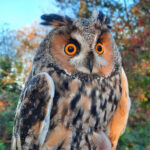 Long-earred-owl