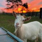 Donkey-the-goat