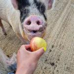 An-apple-a-day-keeps-the-piggy-doctor-away!