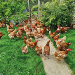 Some-of-the-many-hens-who-pass-through-AIN-before-finding-their-forever-homes